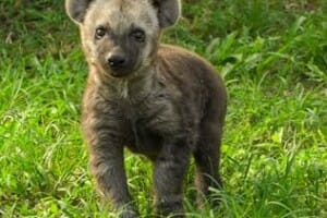 Baby Hyena Makes Debut at Busch Gardens Tampa