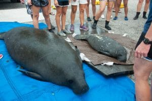 SeaWorld Rescues Manatee Mom And Calf After Possible Boat Strike