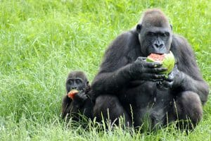 Pittsburgh Zoo Celebrates Baby Gorilla Frankie's First Birthday!